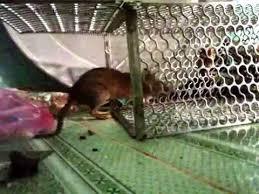 Bẫy Lồng Bắt Chuột